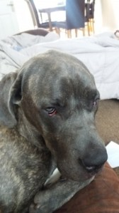 More Handsomeness from Denny the Cane Corso