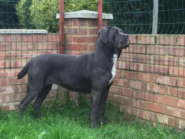 femal cane corso side view