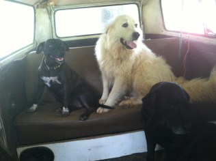 Dogs are in the van about to go for a run