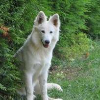 Canima - Luba - Berger Blanc Suisse