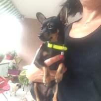 Canima - Lola - Chihuahua