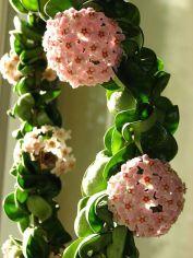 Mum Çiçeği Bitkisi-1