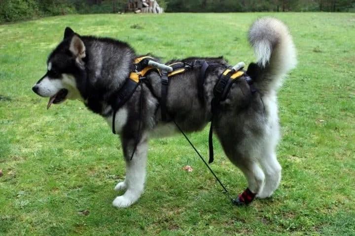 Canine Rehabilitation | Canine Mobility LLC | (206) 361-4100