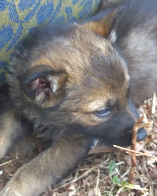 German Shepard Puppies For Sale In Holbrook Ma Canine College Bow