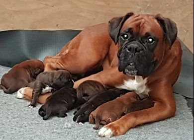 Boxer mum with her puppies