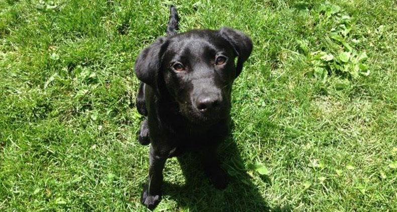 Lenny-Trained-Black-Labrador-Rescue
