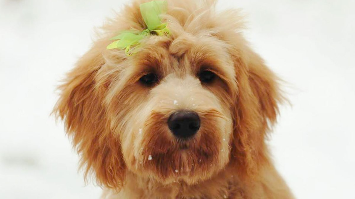 Ani - Trained Goldendoodle