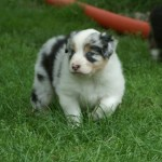 How Much are Australian Shepherd Puppies?