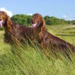 irish setter breeding