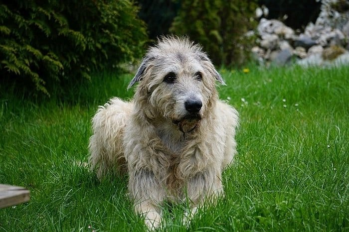 best large dogs for apartments 10