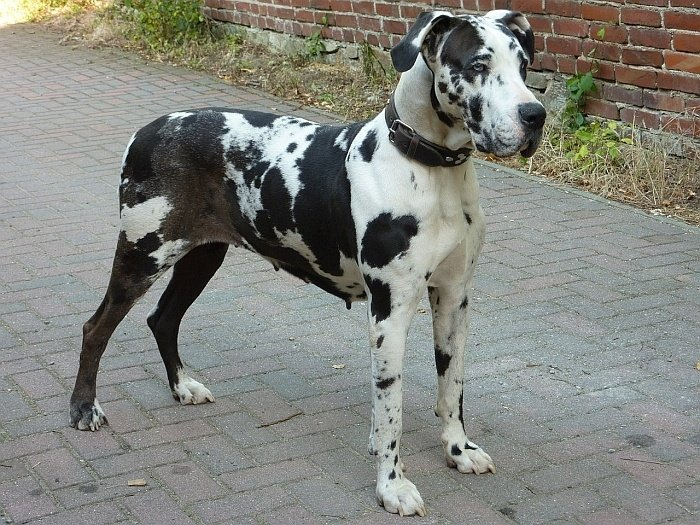 best large dogs for apartments 14