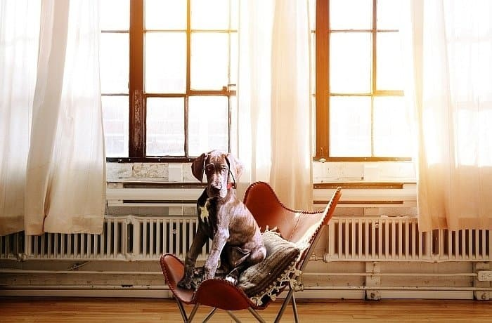 best large dogs for apartments 6