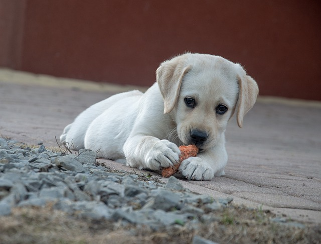 Dog is eating carrot