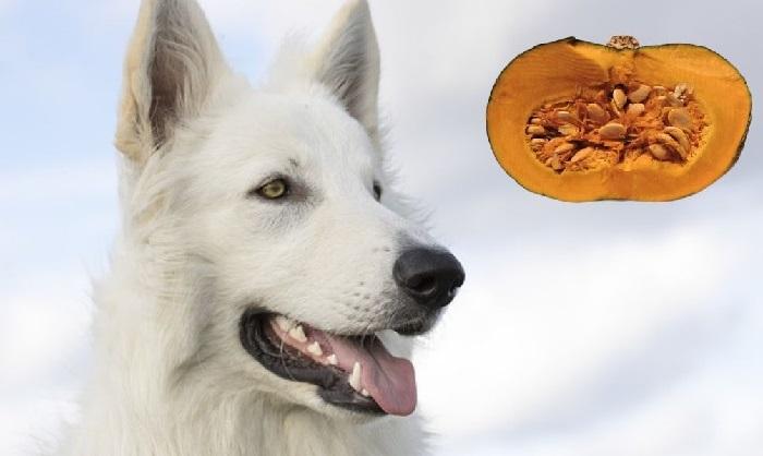 Dogs can eat pumpkins and pumpkin seeds