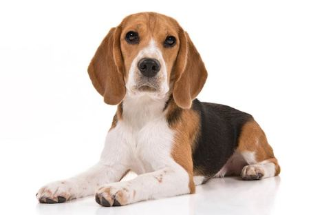 Beagle-On-White-07