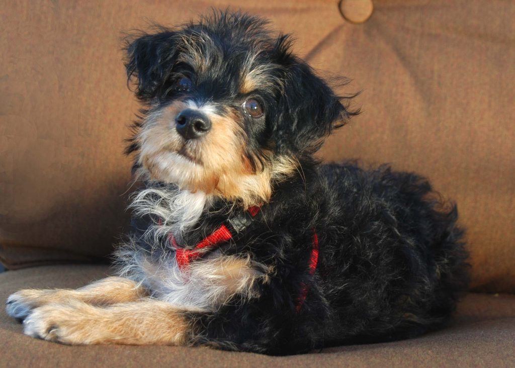 Yorkie Poo Guide Breed Temperament Amp Health Canna Pet