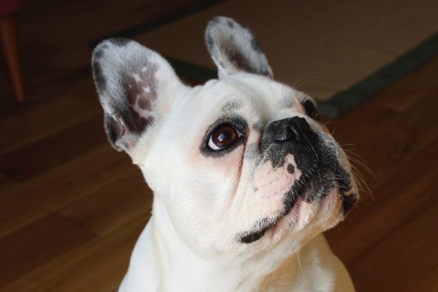 are french bulldogs hypoallergenic? | canna-pet®