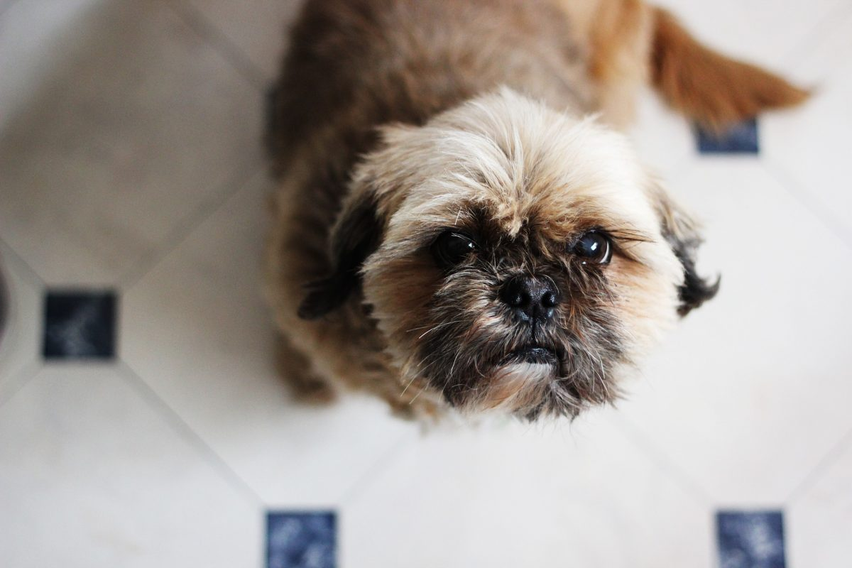 Are Shih Tzus Hypoallergenic Canna Pet