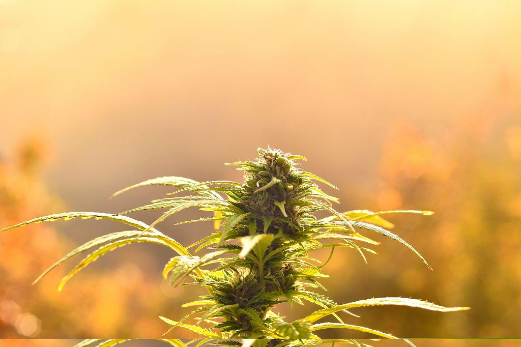 canna wiki.de cannabisblüte im warmen Sonnenlicht - Home