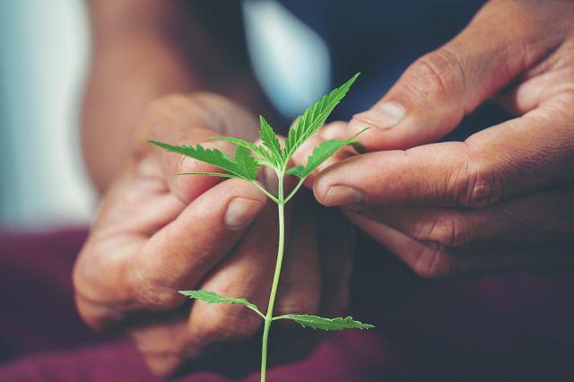 canna wiki.de hände halten junge Cannabis Pflanze - Cannabis Anbau