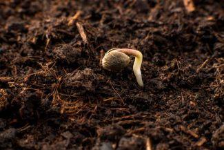 canna wiki.de Cannabissamen beim Keimen - Keimung von Samen