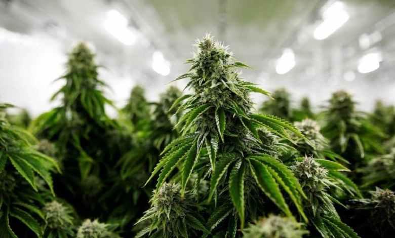 plant de cannabis, variétés de cannabis