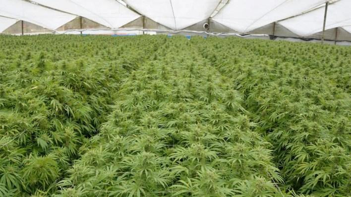 culture en serre cannabis