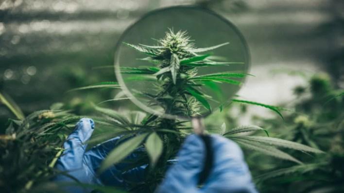 fleur de cannabis vu à travers une loupe