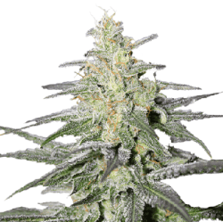Super Silver Haze Seeds