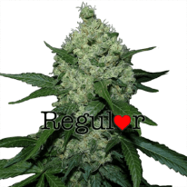 Super Skunk Regular Cannabis Seeds