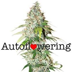 OG Kush Autoflowering Seeds