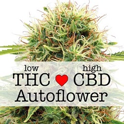 Kush Autoflowering CBD Medical Seeds