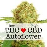 White Widow Autoflowering CBD Medical Seeds