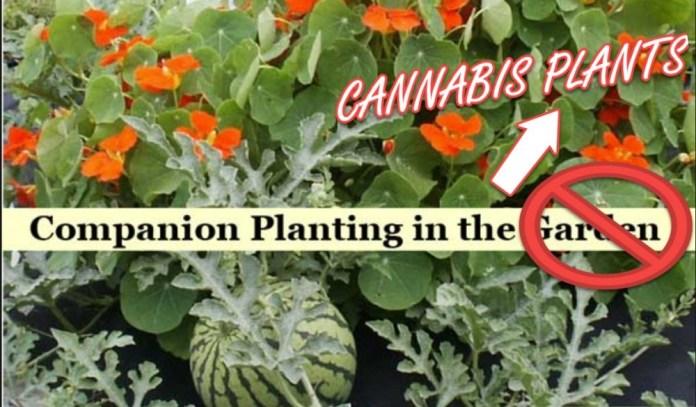 COMPANION PLANTS FOR MARIJUANA GROWS