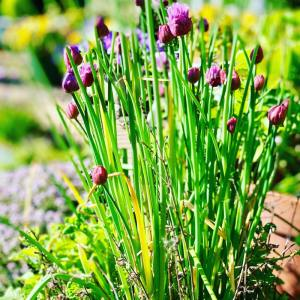 Using chives to keep spider mites away from your cannabis grow
