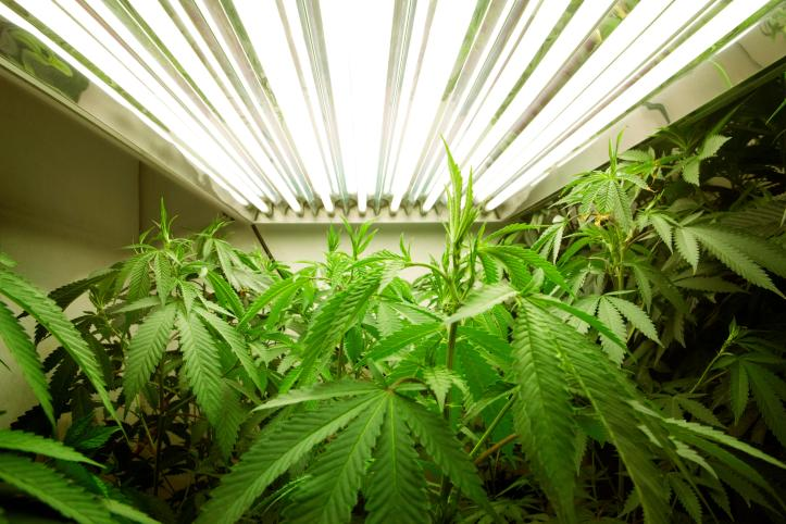 Campaigners have highlighted the medicinal benefits of cannabis as an argument for legalising it