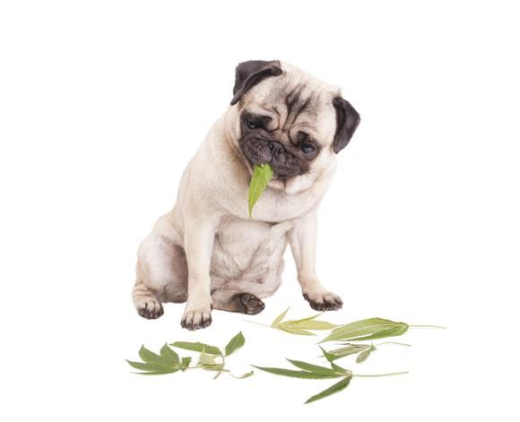 Pug dog eating marijuana leaf