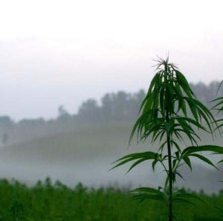 thailand cannabis