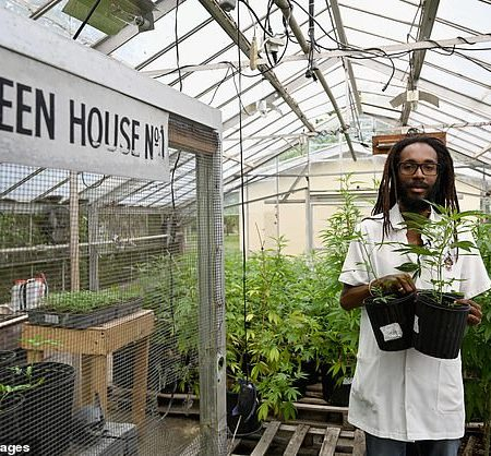 Cannabis Jamaica Bob Marley