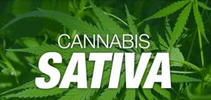 Origins of cannabis plant