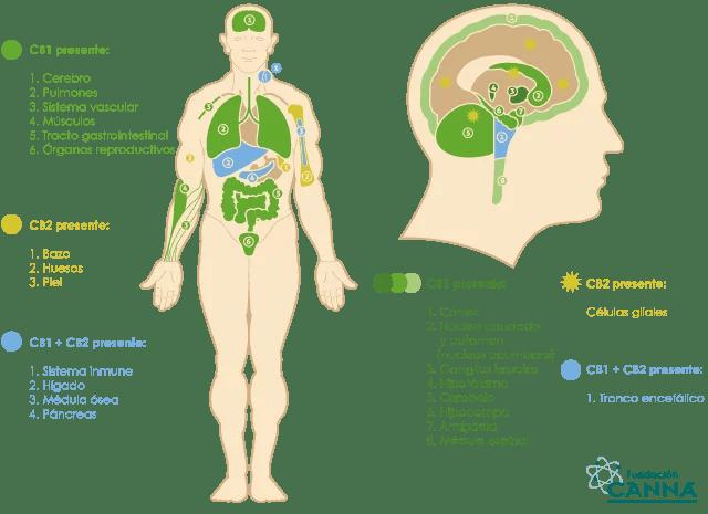 Gráfica sistema endocannabinoide