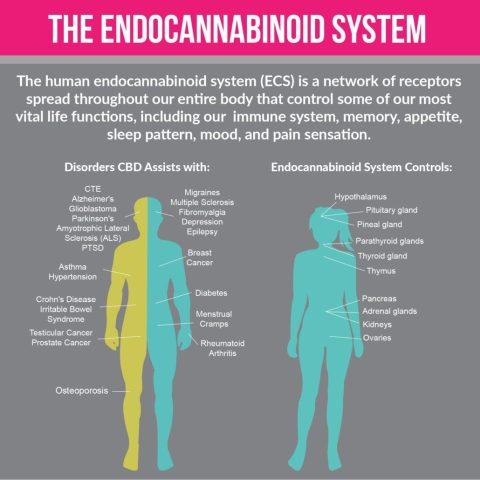 CannaGlobe human endocannabinoid system