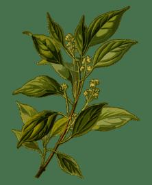 CannaGlobe Key Cannabis Terpenes Camphene