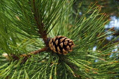 CannaGlobe Key Cannabis Terpenes Pinene