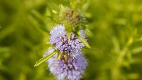 CannaGlobe Key Cannabis Terpenes Pulegone