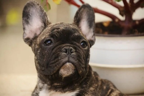 dog sleep: french bulldog looking sad that he cant sleep with his owners