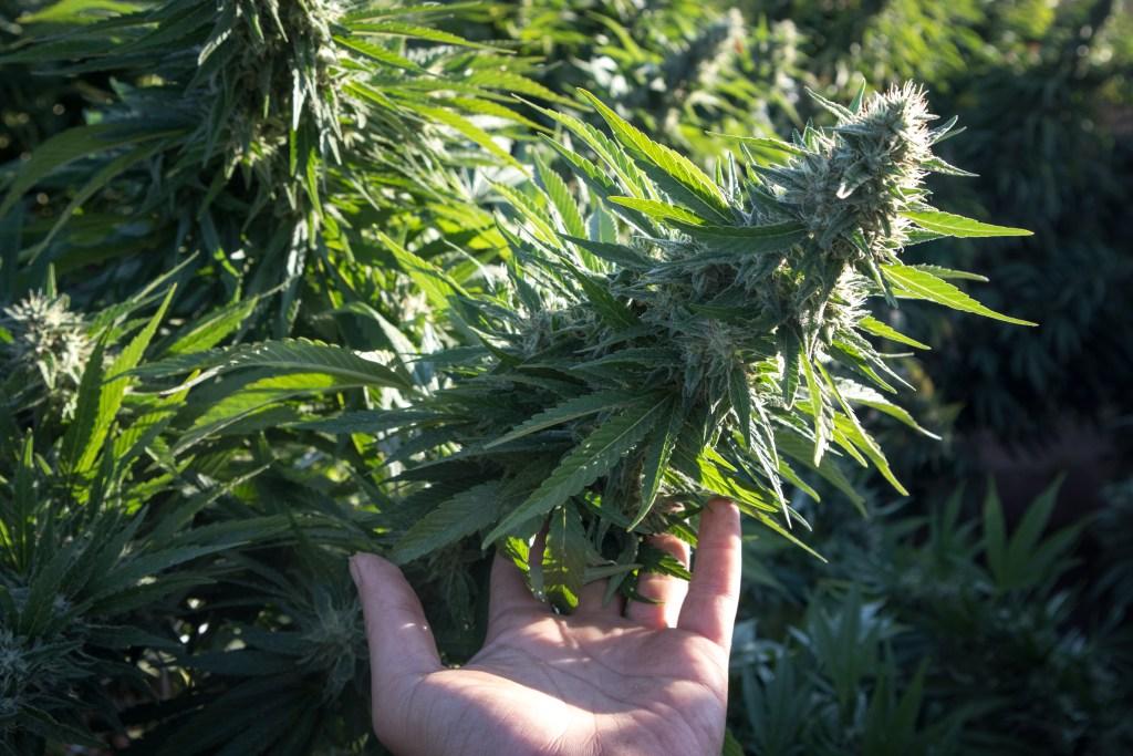 fat cannabis bud