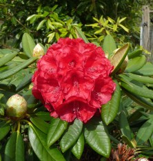 8.red rhododendron