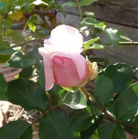 19.rose2