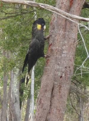 3.black cockatoo3